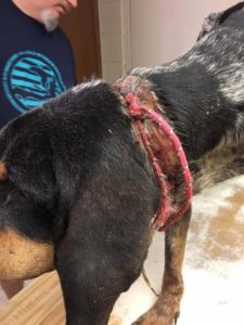 A picture of the severe injury caused by the rope in the picture cutting into Oakley the dogs neck.