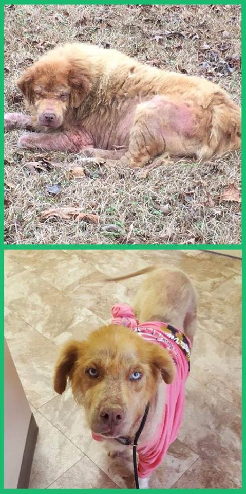 Sumo the dog before rescue and after foster